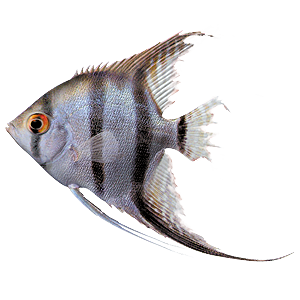 Aquarium fish diseases and how to spot them tetra aquarium for Fish tail fin